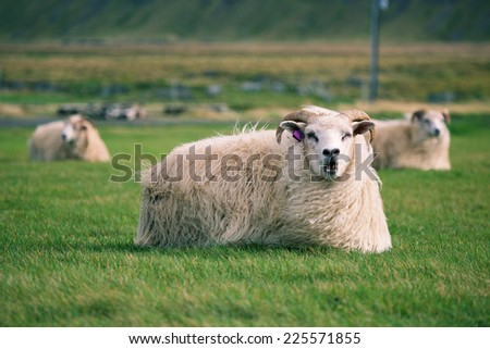 Iceland sheep in autumn field at sunset - stock photo