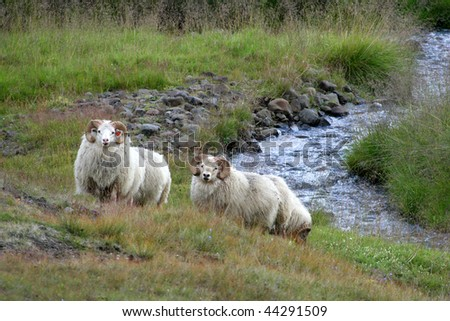 iceland sheep rest at river - stock photo