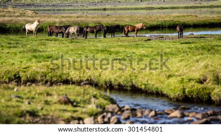 Iceland, wild horses in the green landscape - stock photo