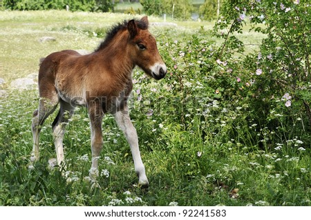 Icelandic foal surrounded by flowers - stock photo