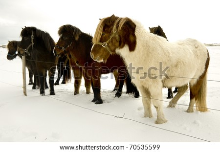 Icelandic horse - stock photo