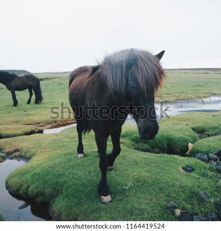 stock-photo-icelandic-horse-in-a-foggy-b