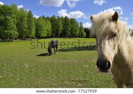 Icelandic horse in a sunny landscape in spring - stock photo