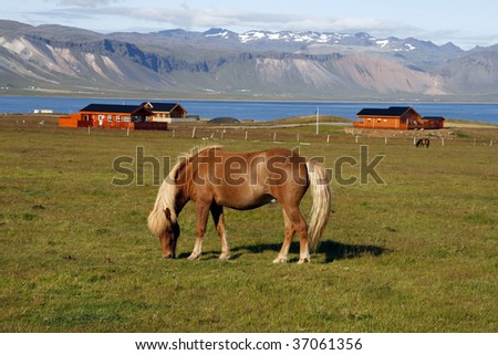 Icelandic horse in Arnarstrapi - picturesque town on Snaefellsnes penisula in western Iceland - stock photo