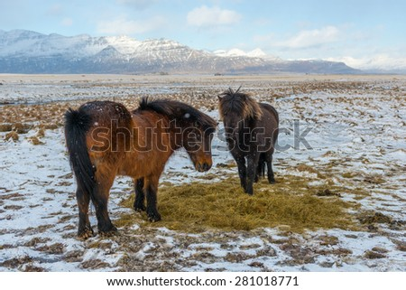 Icelandic Horse in Snowfall, Winter, Iceland