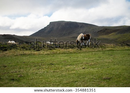 Icelandic horse in the pasture with mountains in the background