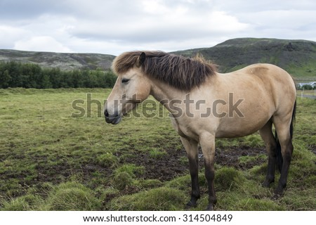 Icelandic horse on a green meadow. Iceland.