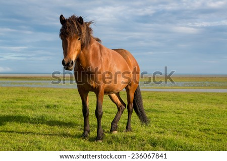 Icelandic horse with beautiful sunset light and overcast sky - stock photo