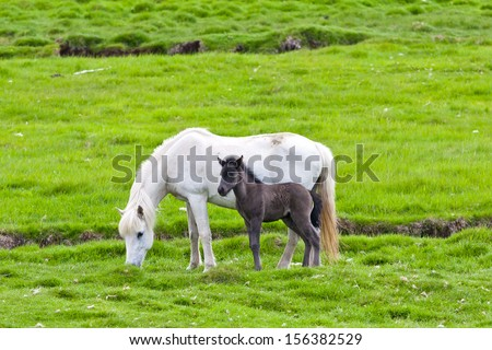 Icelandic horse with her colt. Northen Iceland, Europe. - stock photo