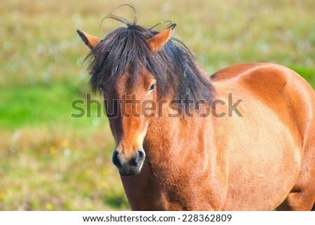 Icelandic Horses - stock photo