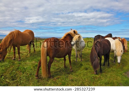 Icelandic horses. Beautiful and well-groomed horse chestnut and white suit on free ranging - stock photo