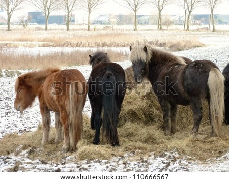Icelandic horses eating hay in the winter
