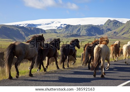 Icelandic horses galloping down a road, illuminated by golden evening light. Shot on location in Iceland. - stock photo