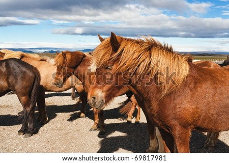 Icelandic horses in a peaceful meadow - stock photo