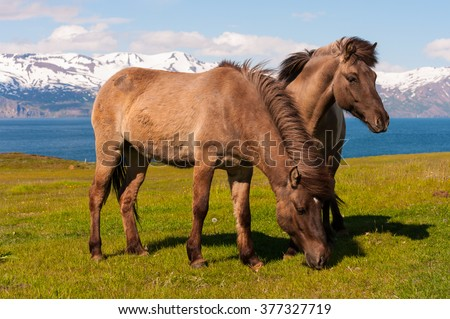 Icelandic horses in the pasture with mountains in the background, nature habitat, Iceland - stock photo