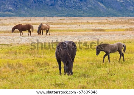 Icelandic horses on a grass field in the summer - stock photo