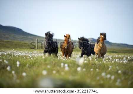 Icelandic horses. The Icelandic horse is a breed of horse developed in Iceland. Although the horses are small, at times pony-sized, most registries for the Icelandic refer to it as a horse. - stock photo