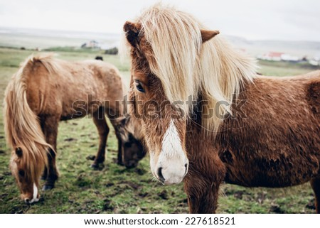 Icelandic horseson a gloomy day. - stock photo