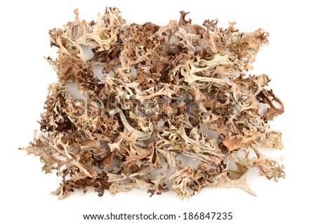 Icelandic moss - stock photo