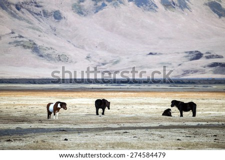 Icelandic ponies (horses) grazing in the grass fields on the southern cost of Iceland in the winter. - stock photo