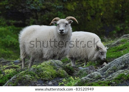 Icelandic sheep closeup grazing in natural environment - stock photo