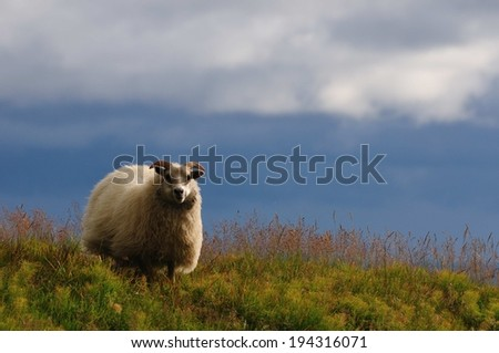 Icelandic sheep in the south of Iceland - stock photo
