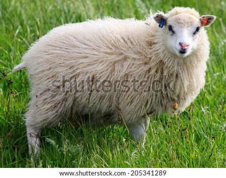 Icelandic sheep looking at the camera - stock photo