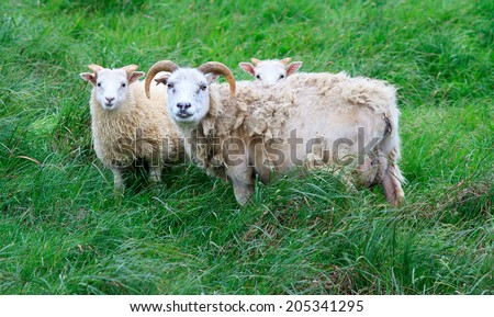 Icelandic sheep looking at the camera