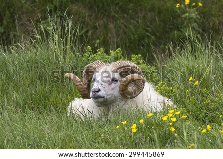Icelandic Sheep Ram with magnificent corkscrew horns laid in the grass - stock photo