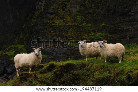 Icelandic sheeps at Haifoss, Iceland - stock photo