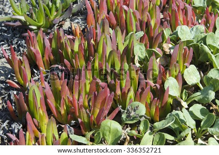 Iceplant (Carpobrotus chilensis) succulents growing on sand above tideline,  Point Reyes National Seashore, California, USA (Iceplant is an invasive non-native species from S. Africa) - stock photo