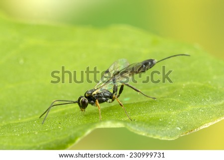 Ichneumon wasp: these are parasitoids, meaning their larvae feed on or in another insect which finally dies. - stock photo