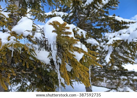 Icicles dangle from the branches of a tree in a snowy, winter landscape. Shallow depth of field. - stock photo