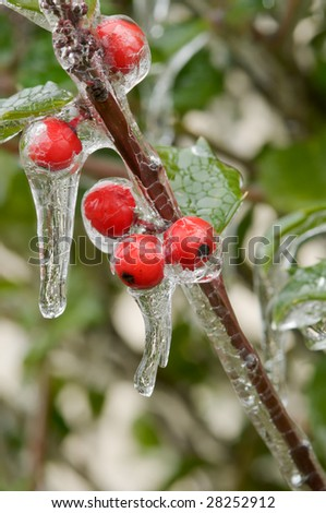 Icicles on holly berries, after freezing rain storm; very shallow depth of field - stock photo