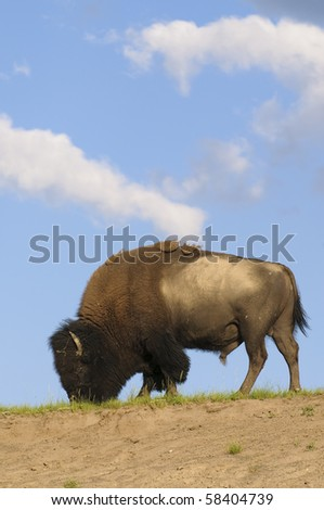 Iconic american bison walking and feeding along a ridge with a blue sky and cumulus clouds behind - stock photo