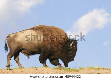 Iconic American Buffalo sky-lined in Yellowstone National Park - stock photo