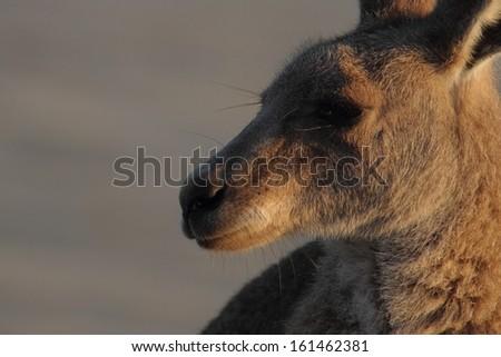 iconic boxing kangaroo stance with australian beach background - stock photo