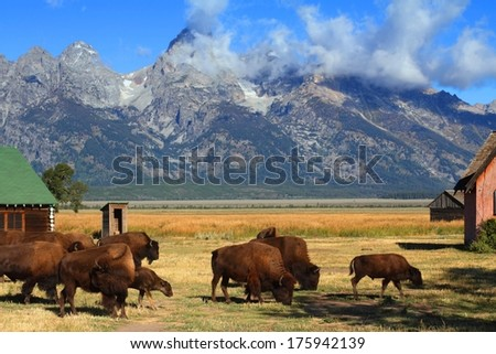 Iconic Mormon Row Barn which is a structure that is a part of Grand Tetons National Parks with bison in the foreground - stock photo