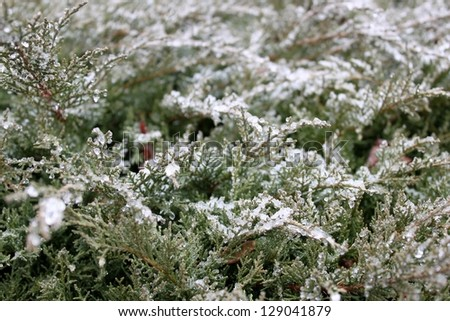 Icy Evergreens