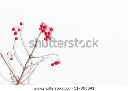 Icy red rowan branch. White background. Free space. Slightly blurred. - stock photo