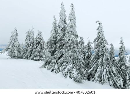 Icy snowy fir trees on winter hill (Carpathian). - stock photo