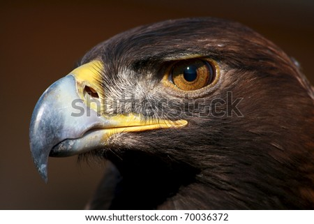 Idaho golden eagle - stock photo