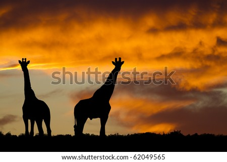 Idyllic african giraffe sunset - stock photo