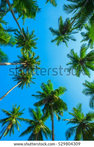 Idyllic green tropical palm trees with coconuts at a clear sunny summer day with a blue sky