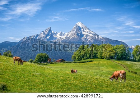 Idyllic landscape in the Alps with cows grazing in fresh green meadows between blooming flowers, typical farmhouses and snowcapped mountain tops, Nationalpark Berchtesgadener Land, Bavaria, Germany - stock photo
