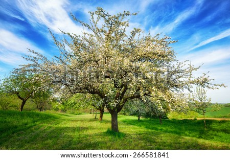 Idyllic rural landscape in spring. A beautifully blossoming apple tree in mid-frame standing on a fresh green meadow is emphasized by a vivid sky with stripes of white clouds - stock photo