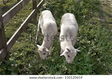 Idyllic rural scene with two young sheep. - stock photo