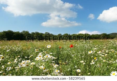 Idyllic sumer landscape with white chamomiles - stock photo