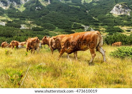 Idyllic summer landscape in the mountains with cows grazing on fresh green mountain pastures in the green valley and the mountain peaks in the background, Bulgaria, Pirin mountain range
