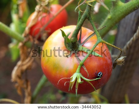 If you look better, you'll see a parasite that destroys agricultural crops. - stock photo
